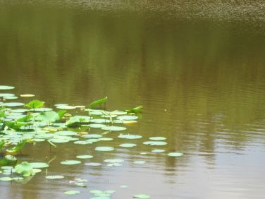 Lilypads on Elephant Lake
